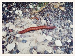 fauna / Terlingua, TX