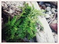 fern / log / Ruby Beach, WA / May 31