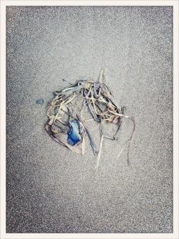 velella velella / Ocean Shores, WA / June 1